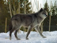 Волки атаковали устюжан